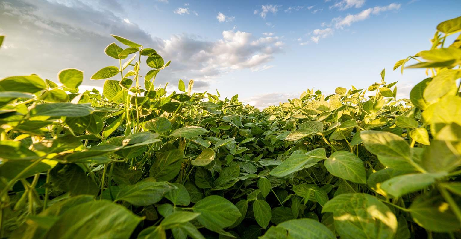 Ripening soybeans